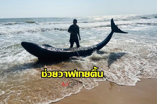 วาฬเพชฌฆาตดำบาดเจ็บที่หาง ถูกคลื่นซัดเกยหาด เจ้าหน้าที่ช่วยเหลือส่งกลับทะเลปลอดภัย