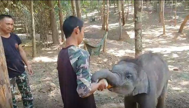 รอลุ้น! วันนี้ลูกช้างทับเสลาเลือกแม่รับตัวแรก (แม่ทีน่า)