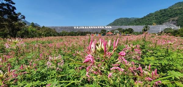 นักท่องเที่ยว ชักแถวกันมาบันทึกความประทับใจทุ่งดอกไม้ที่เขื่อนวชิราลงกรณ
