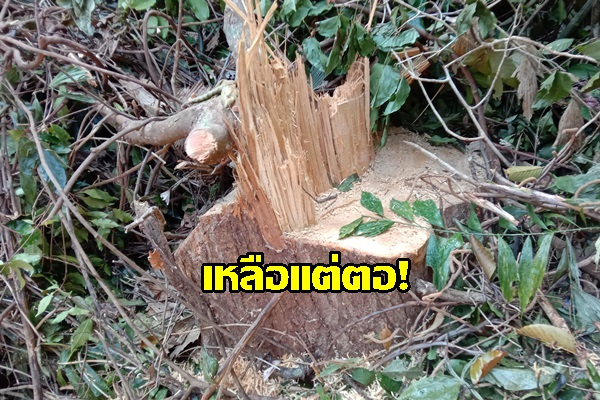 ชาวบ้านสุดทน! แจ้งป่าไม่จับกลุ่มนายทุนลักลอบตัดไม้บนเทือกเขาแม่นางขาว พบไม้แปรรูปจำนวนมากซุกซ่อนอยู่ในป่า