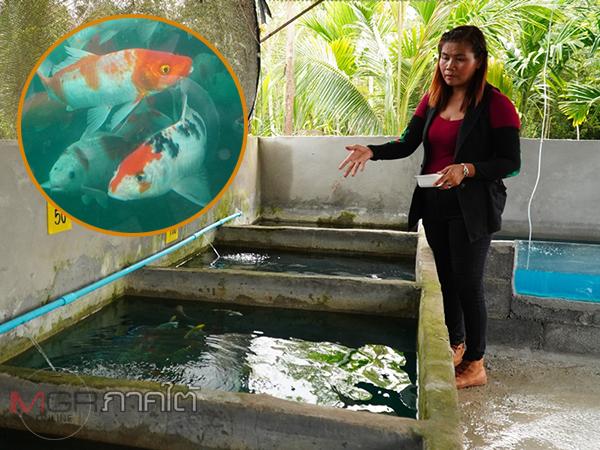 สาวพัทลุงเพาะเลี้ยงปลาคาร์ฟขายสร้างรายได้เลี้ยงครอบครัว