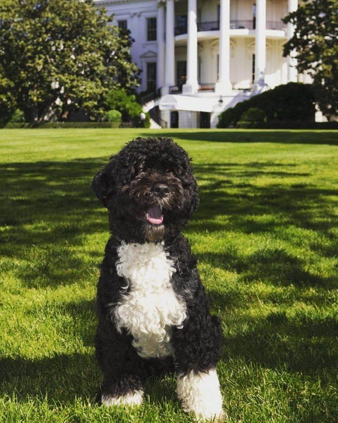 เจ้าโบ อดีตสุนัขประจำทำเนียบขาว สมัยโอบามา