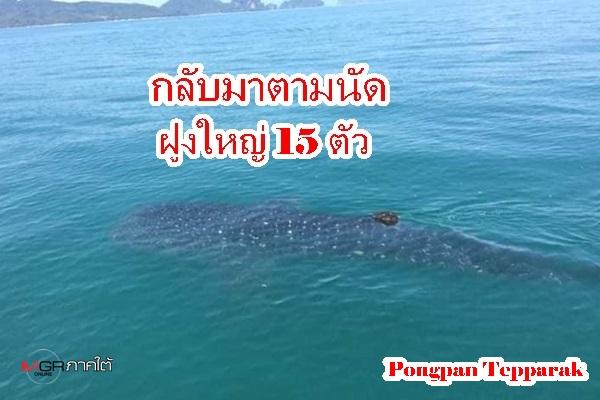 แจ่มมาก ! ฉลามวาฬกว่า 15 ตัว ชวนกันมาอวดโฉมที่เกาะยาว จ.พังงา
