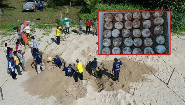 น่ายินดี! แม่เต่ามะเฟืองวางไข่รังที่ 5 ริมหาดบางสัก จ.พังงา 58 ฟอง พบทั้งไข่ดีและไข่ลม
