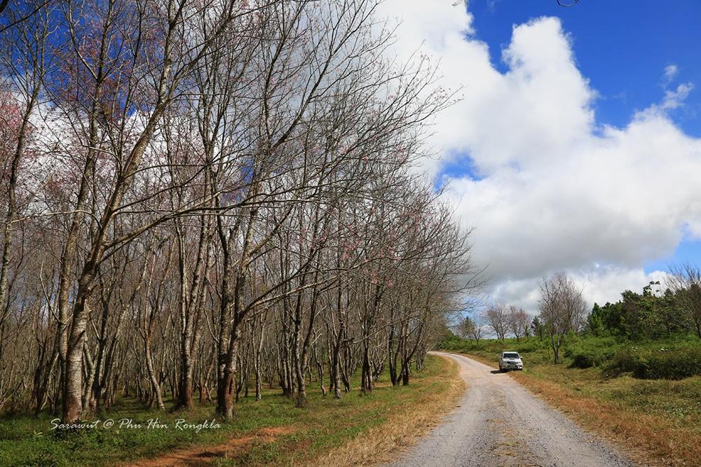 """ปีนี้ (63) """"ดอกนางพญาเสือโคร่ง"""" ที่ """"ภูลมโล""""บานเร็วกว่าทุกปี (ภาพ เพจ : อุทยานแห่งชาติภูหินร่องกล้า - Phu Hin Rong Kla National Park) (ภาพถ่ายวันที่ 24 พ.ย.63)"""