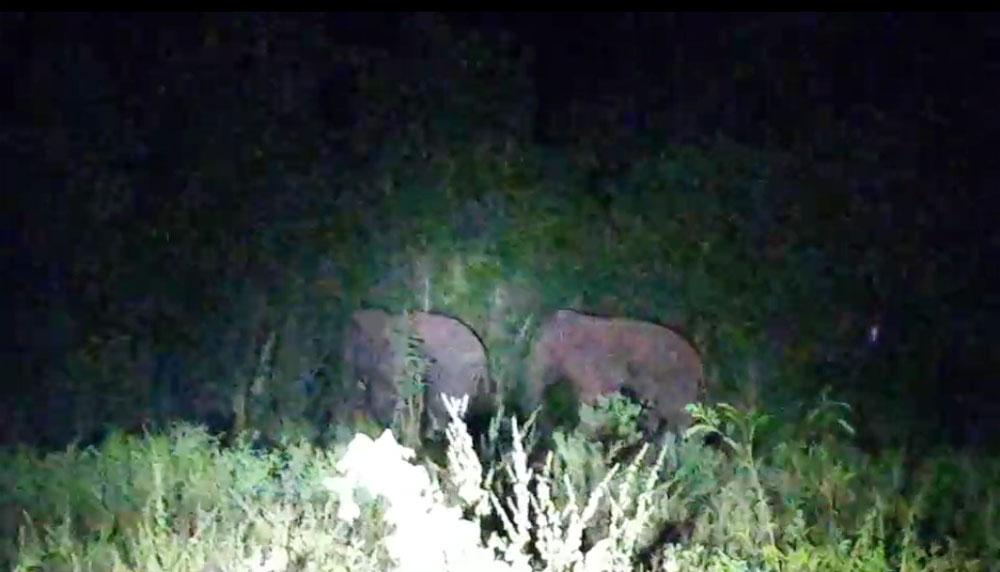 ส่องช้างป่าในไร่มันยามค่ำคืน  (ภาพจากวิดิโอของกำนันตึ๋ง)