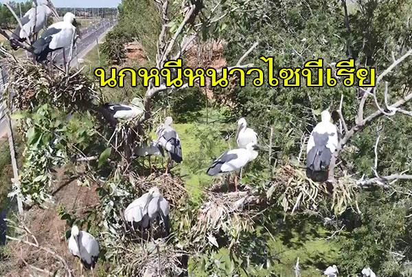 นกอพยพหนีหนาวไซบีเรียกว่า 5,000 ตัว เริ่มเข้าทำรังวางไข่อ่างเก็บน้ำสนามบิน แหล่งท่องเที่ยวบุรีรัมย์