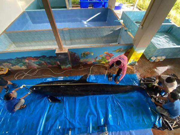 ผลผ่าชันสูตรวาฬเพชฌฆาตดำ พบเศษอวนในท้อง ป่วยรื้อรัง ถูกคลื่นซัดเกยหาด