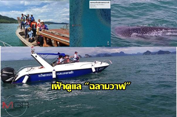 ส่งเจ้าหน้าที่ดูแลฉลามวาฬ เกาะยาวน้อย แนะนำการปฏิบัติตัวของนักท่องเที่ยว หากโชคดีเจอฉลาม