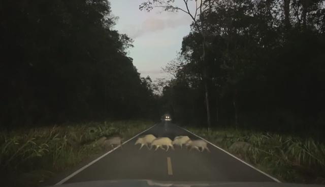4 ม.ขอไม่มาก ฝูงหมูป่า ข้ามถนน สะท้อนธรรมชาติสมบูรณ์ ที่เขาเขียว เขาใหญ่