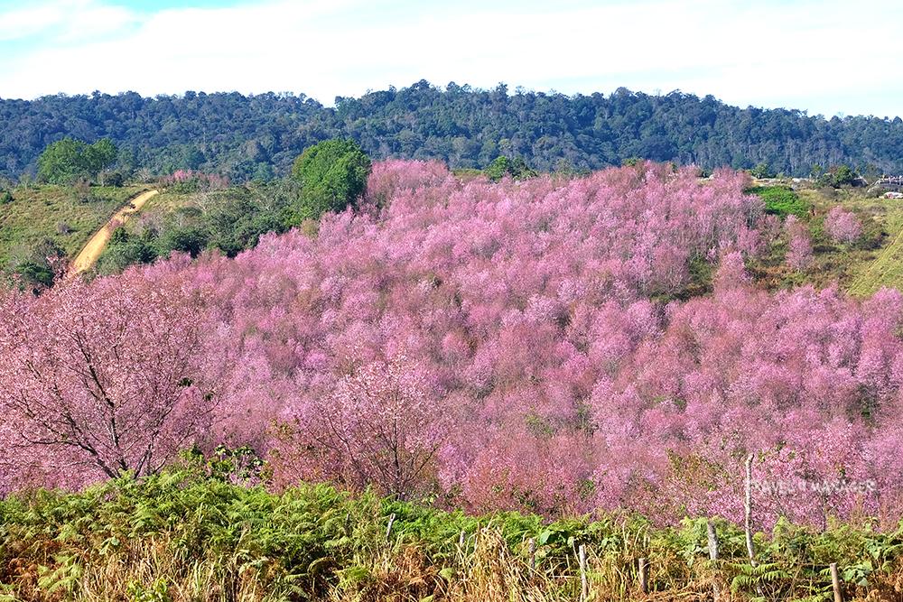 ภูลมโล หุบเขาสีชมพู แหล่งชมดอกนางพญาเสือโคร่งใหญ่ที่สุดในเมืองไทย
