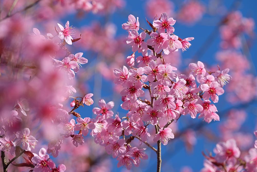 ดอกนางพญาเสือโคร่ง ไม้ในวงศ์เดียวกับซากุระของญี่ปุ่น