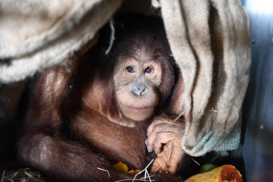 """ส่งคืนถิ่น! 2 ลิงอุรังอุตัง """"นาตาลี – อุ๋งอิ๋ง"""" กลับบ้านเกิดที่ประเทศอินโดนีเซีย"""