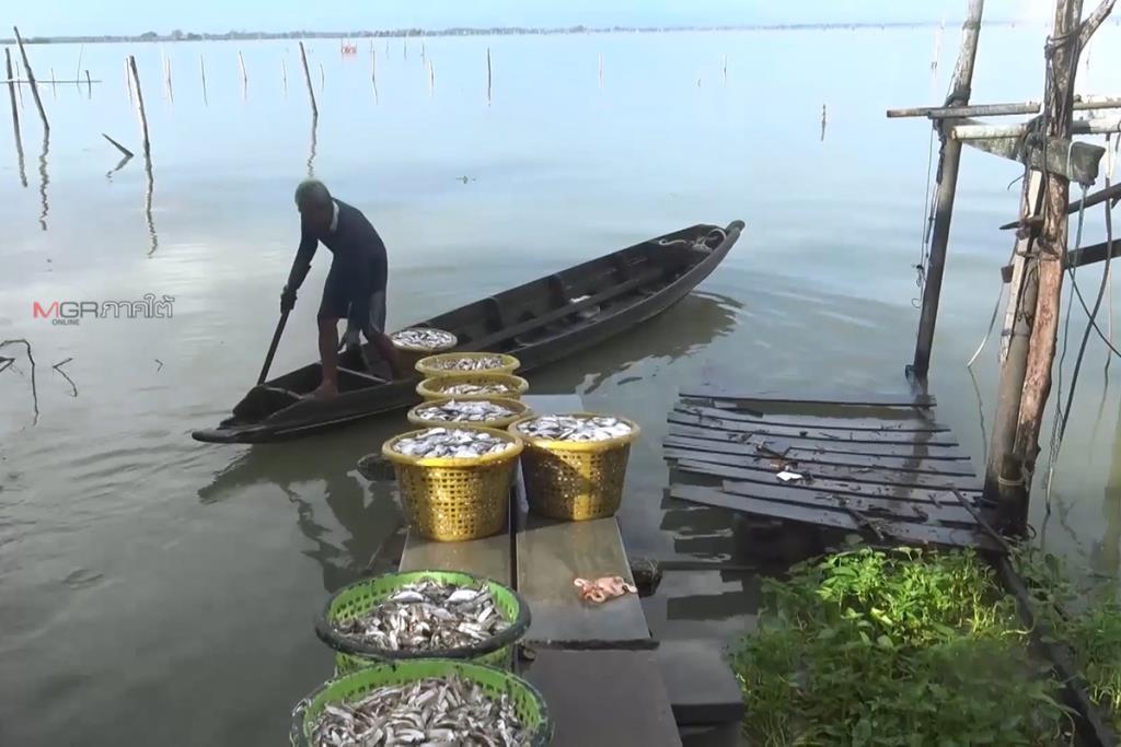 ฝนตกกระทบผู้เลี้ยงปลากะพงขาวในกระชังเกาะยอ ต้องเฝ้าระวังเสี่ยงปลาน็อกน้ำตาย