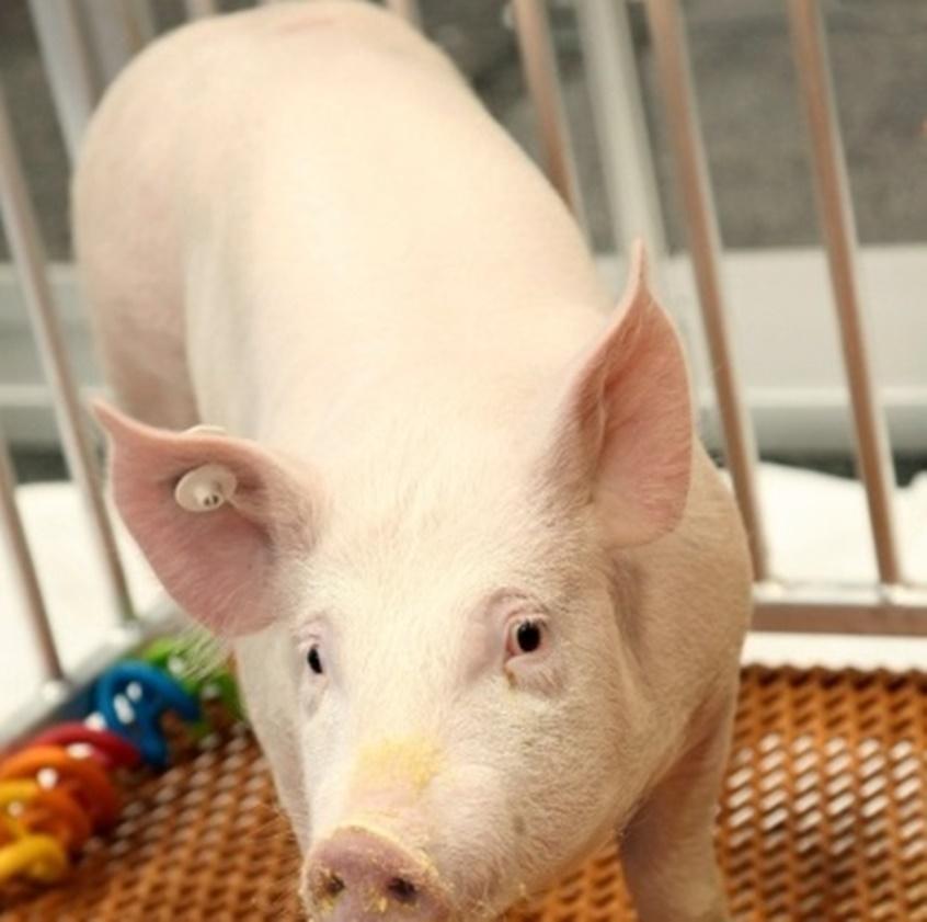 """In Clip: ฮือฮา!! FDA สหรัฐฯประกาศ """"หมูดัดแปลงพันธุกรรม"""" กินได้จ้า นักพัฒนาตั้งเป้าเอาหมูเป็นฟาร์มอวัยวะให้คนมากกว่าขายเป็นเนื้อส่งตลาด"""