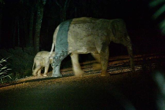 ลูกช้างป่าถูกมอเตอร์ไซค์ชน ที่แก่งหางแมวปลอดภัย แม่ช้างมารับตัวแล้ว!!