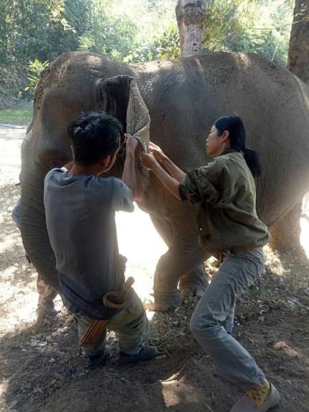 คุณหมอสัตวแพทย์ และเจ้าหน้าที่มูลนิธิคืนช้างสู่ธรรมชาติ เจาะเลือดช้าง 2 เชือก ดอกรัก วาเลนไทน์