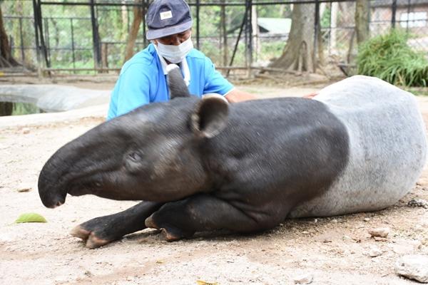 สบายตัว...'เจ้าแหว่ง' สมเสร็จ สวนสัตว์เขาเขียว ชอบให้อาบน้ำ และ เอามือ สัมผัสตัว ถึงนอนกรน