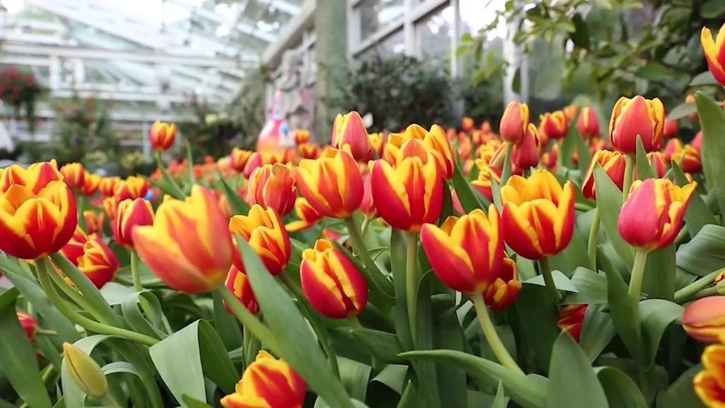 นทท.ประทับใจชมความงามดอกทิวลิปหลากสีสันที่อุทยานหลวงราชพฤกษ์รับปีใหม่
