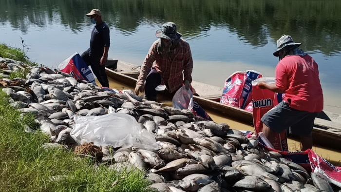 เกษตรกรเลี้ยงปลากระชังน้ำสงครามร่ำไห้ปลาน็อคน้ำตายเกลื่อน เสียหายกว่า10ล้านบาท