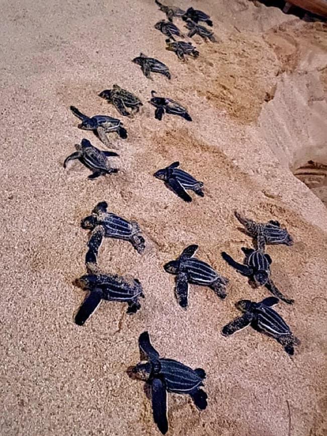 ภาพ - 3  ลูกเต่ามะเฟือง