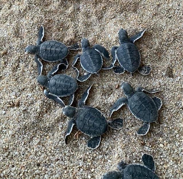 ภาพ - 7 ลูกเต่าเกาะสมุย