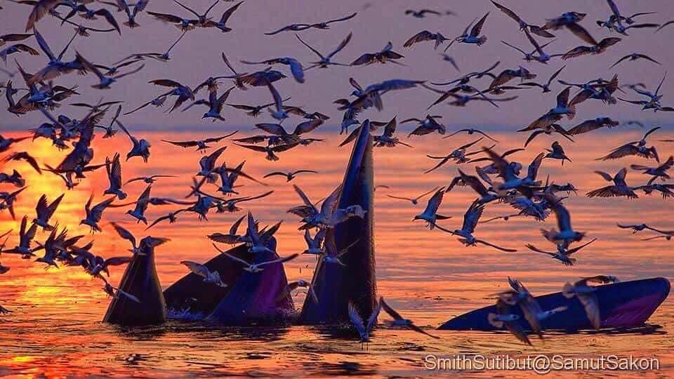 ภาพ - 10 วาฬบรูด้า
