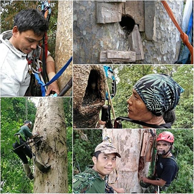 นักวิจัยโครงการศึกษานิเวศวิทยาของนกเงือก และทีมอาสาสมัคร  ปีนขึ้นไปบนต้นไม้ที่มีโพรง เพื่อปรับปรังโพรงธรรมชาติให้เหมาะสม ที่นกเงือกสามารถใช้ทำรัง ออกไข่ เลี้ยงลูกได้