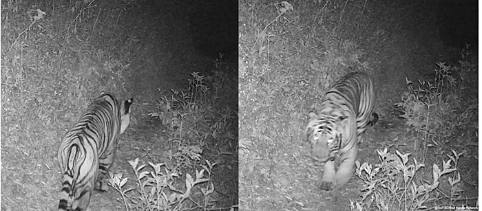 ทำสถิติใหม่ ! พบ 'เสือโคร่ง'บนยอดเขาสูง 3,165 เมตร จากหลักฐานกล้องดักถ่าย WWF เนปาล