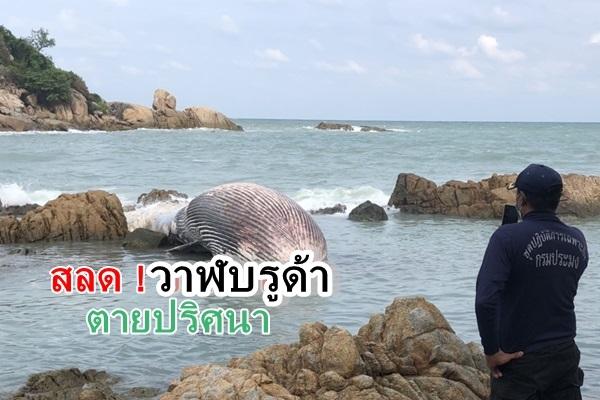 สลด ! วาฬบรูด้าขนาดใหญ่ ถูกคลื่นซัดตายติดซอกหินชายหาดเชิงมนต์ เกาะสมุย