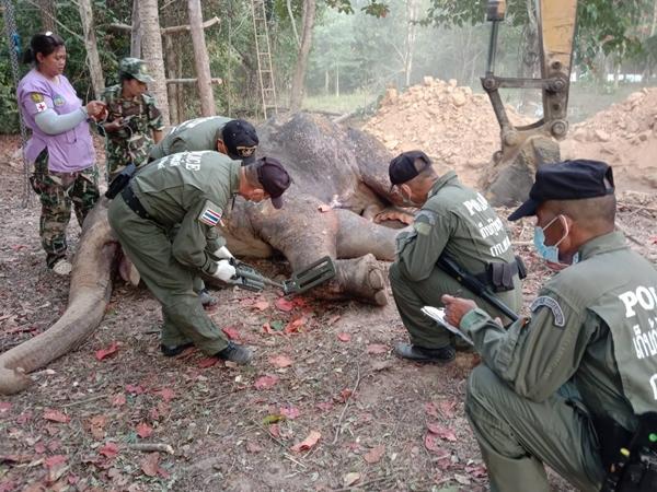 ล้มแล้ว! ช้างป่าบาดเจ็บ หลังสัตวแพทย์ติดตามรักษาอาการเกือบเดือน พบกระสุนฝังทั่วร่าง