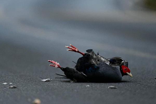 ไก่ฟ้า ยังไม่รอด! ชนอีก บนถนนคร่าชีวิตสัตว์ป่า เขาใหญ่