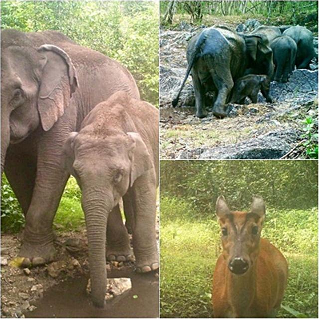จากกล้องดักถ่าย พบว่า มีสัตว์เลี้ยงลูกด้วยนม 12 ชนิด และกวางป่าเป็นสัตว์ที่มาใช้ประโยชน์ดินโป่งมากสุด
