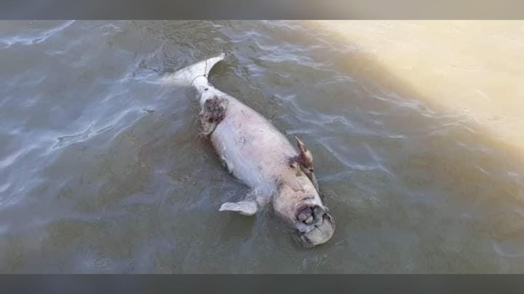 สลด! กระบี่ พบซากพะยูนตายกลางทะเลถึง 2 ตัวในวันเดียว