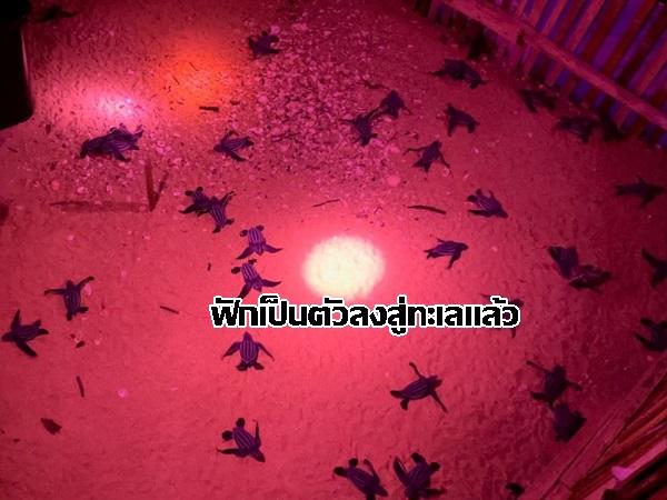 ลืมตาดูโลกแล้ว! ลูกเต่ามะเฟืองรังที่ 4 ชายหาดบางขวัญ กลับคืนสู่ธรรมชาติ อัตรารอดสูงถึงร้อยละ 58