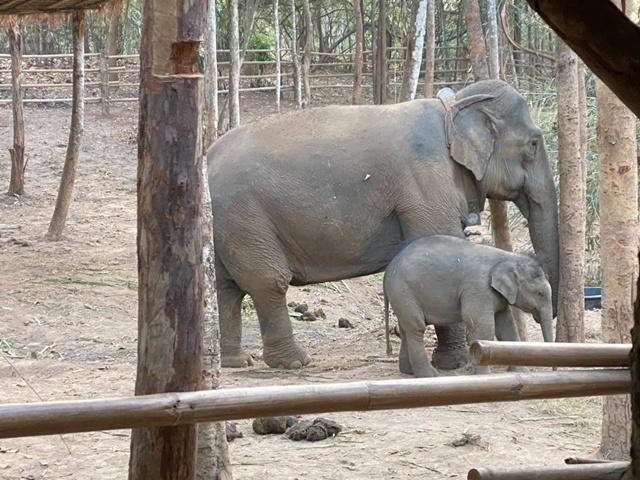 ดรามา 'ทับเสลา' อยู่ 7 คืนกับแม่รับ! คอร์สเทียบช้างปรับพฤติกรรมตอนกลางคืน