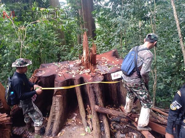 สนธิกำลังตรวจเขาตะเวพบกลุ่มมอดไม้ลอบตัดโค่นต้นตะเคียนขนาดใหญ่ 8 ต้น