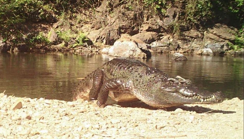 อุดมสมบูรณ์! พบจระเข้น้ำจืดนอนอาบแดดที่ต้นแม่น้ำเพชรบุรี ในอุทยานแก่งกระจาน