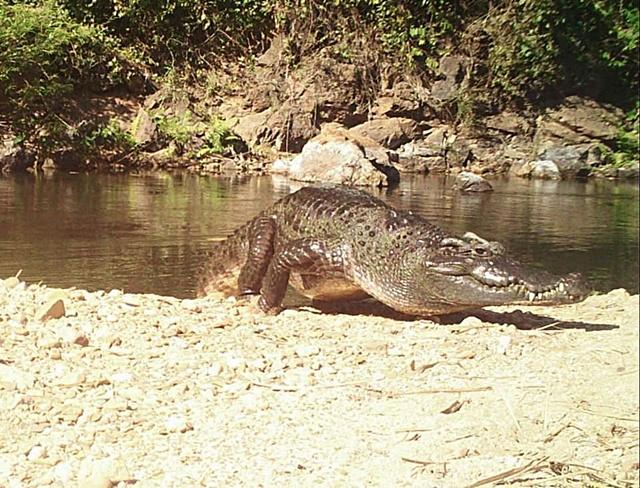 นักอนุรักษ์สุดปลื้ม!! จระเข้น้ำจืดสายพันธุ์ไทย! ที่หายาก-ใกล้สูญพันธุ์ โผล่หน้ากล้องดักถ่าย อช.แก่งกระจาน