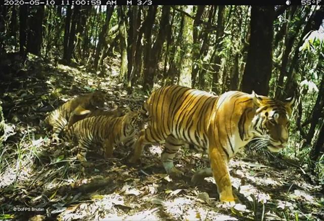 แม่เสือโคร่งและลูกน้อย ที่ภูฏาน! โชว์หน้ากล้อง หลังหายไปนานถึง 6 ปี