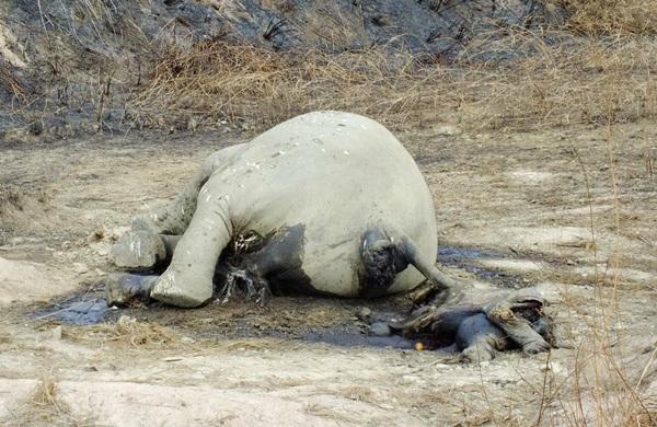 น่าเสียดาย! พบซากแม่ช้างป่าตกลูกตายริมสันอ่างเก็บน้ำคลองหางแมว จันทบุรี