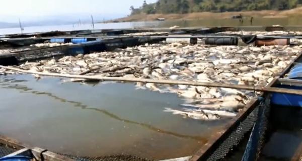 เกษตรกรผู้เลี้ยงปลากระชังรอบอ่างฯ เดือนร้อนหนัก หลังปลาตายจำนวนมาก