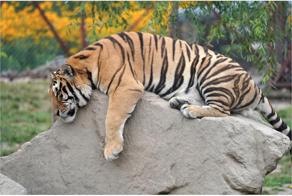 สวนสัตว์สวีเดน จำใจปลิดชัพ เสือป่วยโควิด-19 คาดติดจากคน
