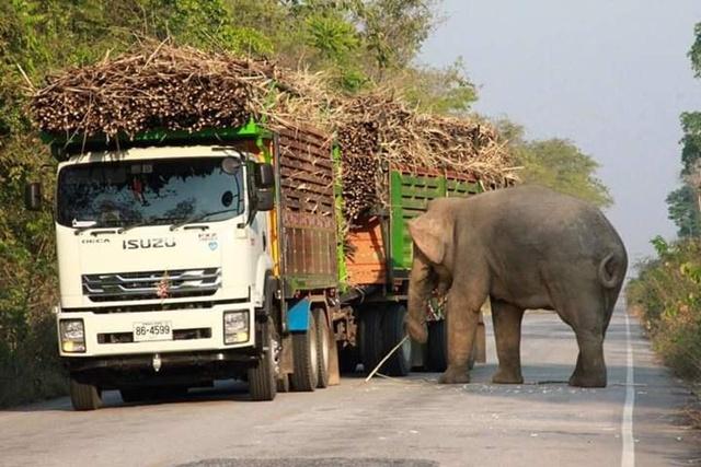 """แนะรถบรรทุกเลี่ยงด่านลอย! ช้างป่าอ่างฤาไน!! """"ดักกินพืชผลเกษตร"""" อย่างปลอดภัย"""
