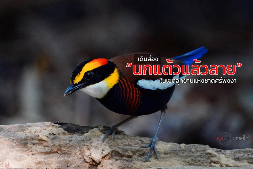"""ลองไปเดินชมความงามของ """"นกแต้วแล้วลาย"""" ภายในเขตอุทยานแห่งชาติศรีพังงา"""