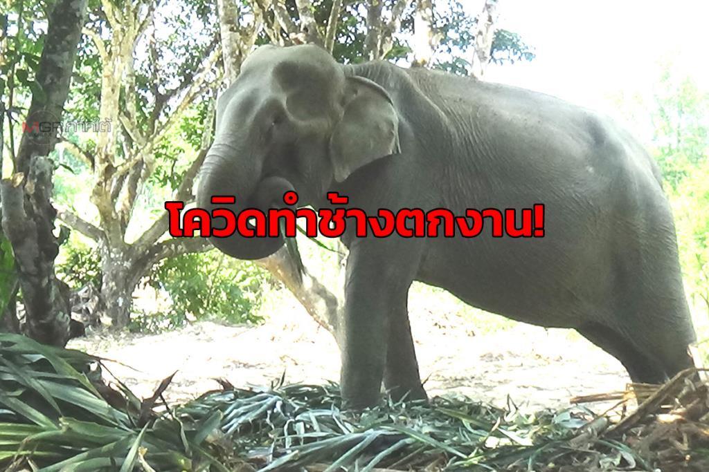 ช้างกว่า 60 เชือก! เจอพิษโควิดทำตกงานต้องย้ายกลับบ้าน ซ้ำขาดแคลนอาหาร-น้ำช่วงหน้าแล้ง