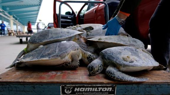 """เท็กซัสเร่งช่วย """"เต่าทะเลหลายพัน"""" หนาวจนถูกซัดเกยฝั่ง"""