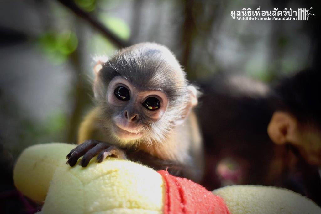 มูลนิธิเพื่อนสัตว์ป่า เปิดรับบริจาคผ้าห่ม - ตุ๊กตา ให้ลูกลิงกำพร้า เพื่อกอดแทนไออุ่นจากแม่