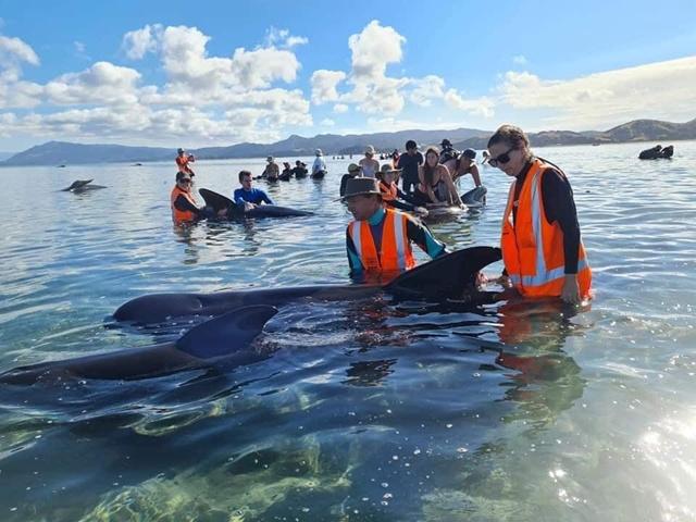 ช่วยวาฬนำร่อง 49 ตัวเกยตื้น! ที่อ่าวโกลเด้น นิวซีแลนด์