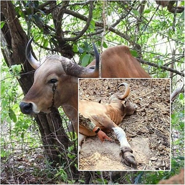 สลดปีวัว! วัวแดง ติดบ่วงตาย ฝีมือพรานเขมรประดิษฐ์